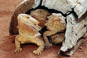 Alice Springs Reptile Centre - Accommodation Broome